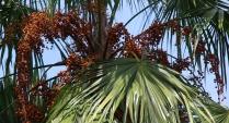 auch oben in den Palmen