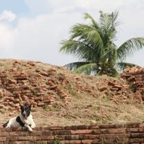 """der entspannte """"Ayutthaya-Hund"""""""