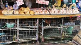Oben Hühner verarbeitet, unten warten die lebenden Hühner...