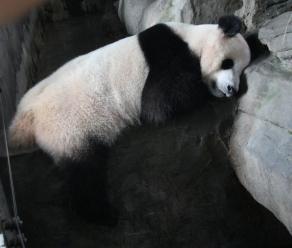Der erste Pandabär, den wir gesehen habe - macht ein Schläfchen