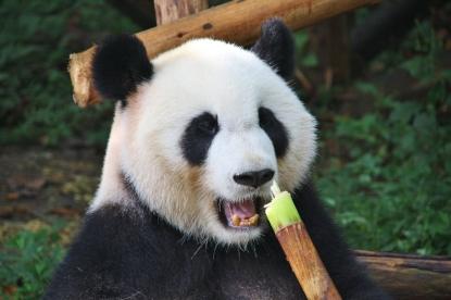 Bambus, lecker!