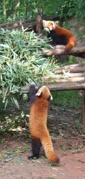 """Wir starten langsam mit den """"Red Pandas"""" (auch niedlich - sie spielen aber eindeutig nur die zweite Geige)"""