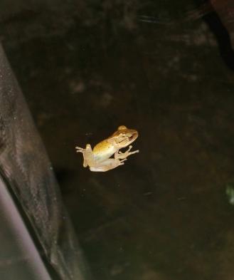 während Gewitter: Frosch wartet das Unwetter auf unserer Wohnzimmerscheibe ab (Foto von innern durch die Scheibe geschossen)