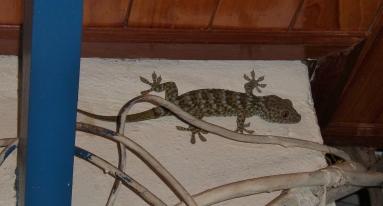 der auch (ein Riesen Gecko)