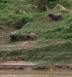 Wasserbüffel - lassen sich von uns nicht beeindrucken