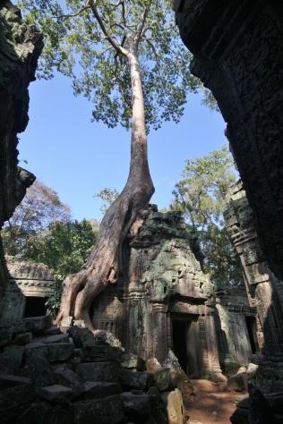 """und die wachsen überall - markant für Angkor Wat und die umgebende Region der Tempelanlagen (auch bekannt aus """"Tomb Raider"""")"""