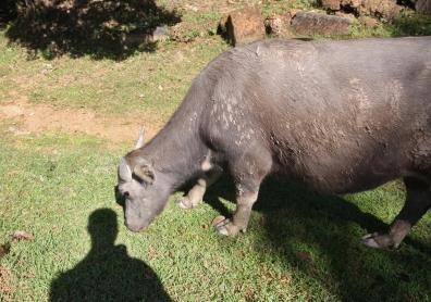 Wasserbüffel - keine Seltenheit - auch mal ganz dicht