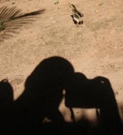 wenn keine Enten in der Nähe sind müssen die Hühner-Küken herhalten :-)