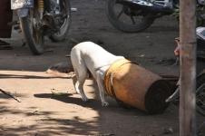 Die Hunde versorgen sich oft selbst oder bekommen Kleinigkeiten ab - die Buddhisten sind da großzügig zu allen Mitbewohnern