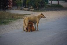 Hund am Morgen - die Kleinen haben Hunger! ... lange ging das nicht gut - als das erste Auto die Straße runtergefahren kam, verdrückte sich die Hundefamilie auf den Gehweg...