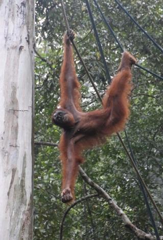 """Einer der Gründe, weshalb wir nach Kuching gereist sind: die """"Orang Utans"""" - da kommt einer!"""