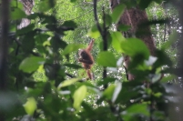 Und tatsächlich, wir sehen auch noch einen Orang Utan in so richtig freier Wildbahn auf unserem Rückmarsch zur Bushaltestelle - toll!