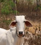 Diese (an einem Busch festgebundene) Kuh hat einfach nur sehr witzig dreingeschaut :-)