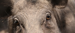 die Wildschweine sind gut drauf