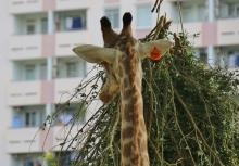 Nein, wir sind noch nicht in Afrika - aber im HCMC Zoo ... die Kulisse bei dieser Aufnahme ist etwas anders gewählt.
