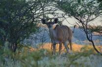 Frau Kudu - sind das nicht tolle Ohren?