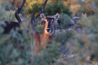 Black Face Impala .. schaut etwas belämmert drein...