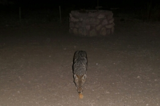 """Der kleine Schlingel, """"Freund Schabracken Schakal"""" besucht uns beim Abendessen... und bekommt - natürlich - etwas ab :-) ... nachts knabbert er dann die Schnürsenkel unserer Schuhe durch... der kleine Drecksack!"""