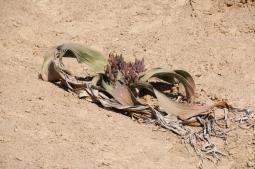 Welwitschias, diese Pflanzen können bis zu 1.500 Jahre alt werden... und wachsen extrem langsam (kein Wunder, ist ja Wüste...).