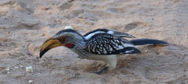 "Toller Vogel, dieser ""Tocko"""