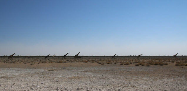 Tolle Giraffen-Herde.