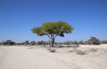 Baum, der als Nest-Bauplatz dient.