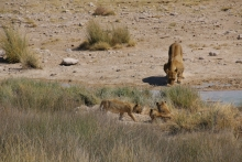 Löwenfamilie.