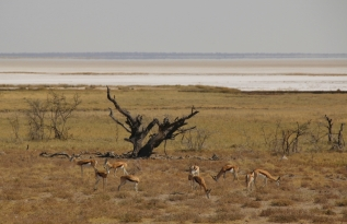"""Springböcke - im Hintergrund die """"Etosha Pfanne"""" im Norden Namibias. Da kann man überleben? Wohl ja... das nächste Wasserloch ist immer irgendwo."""