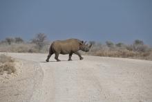 Seltener zu sehen, die Nashörner (sind eigentlich echte Feiglinge und suchen schnell das Weite).