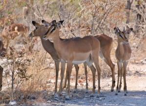 Impalas, die sich einen schattigen Platz zur Mittagszeit suchen.