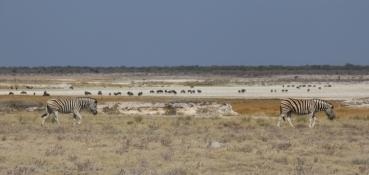 Wo Zebras sind, sind Gnus nicht weit.
