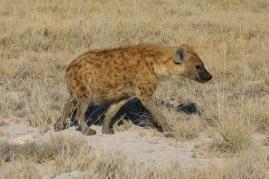 Eine Tüpfel Hyäne.