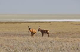Tolle lange Gesichter, haben die Pferdeantilopen. Im Hintergrund die Etosha Salzpfanne.