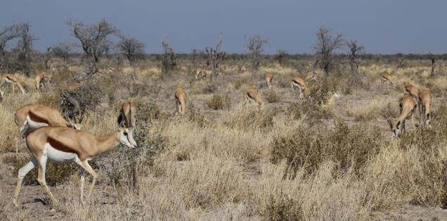 Springböcke, sehr verbreitet im Etosha National Park