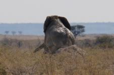 Ein Brüller, ein Elefant, dem der Ar... juckt: Und wo könnte man den besser kratzen als an einem Termitenhügel?