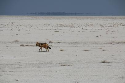 Schabracken Schakal in der Salzwüste.