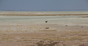 Strauße sind Kummer gewohnt und finden sich gut zurecht bei Hitze und Steppe.