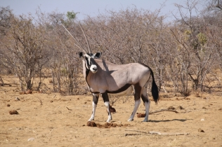 Imposanter Geselle, der Oryx.