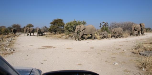 Toll, wenn man die Elefanten so dicht vor sich hat. Man denkt immer, dass man die streicheln könnte und sollte wie einen Hund. Wenn man etwas näher zu kommen versucht, wird man ordentlich angetrötet, sehr erfurchteinflössend.