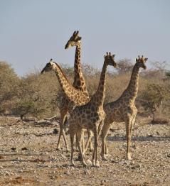 Immer wieder sehr lustig und grazil, die Giraffen.