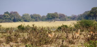 Impalas jagen durch den Busch.