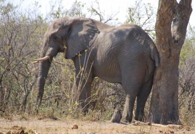 Schon wieder ein Elefant, dem das Gesäß juckt. Gibt's ja nicht!