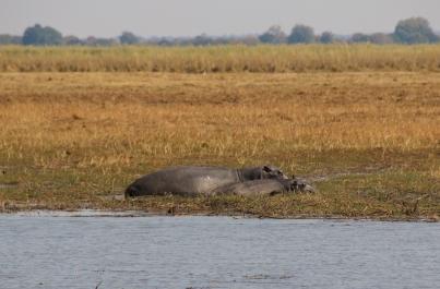 """Flusspferde. Das """"Kleine"""" ist schon recht groß."""