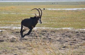 Seltener und besonderer Gast, die Rappen Antilope.