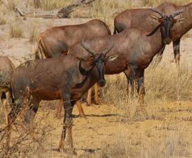 Kuh Antilope.