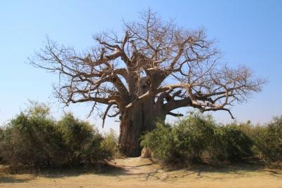 Baobab Bäume, sehen großartig aus, werden über 2000 Jahre alt.
