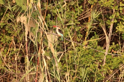 Kingfisher.