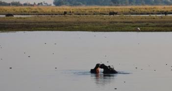 Flusspferde im Chobe River.