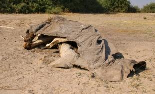 Sterbliche Überreste eines Elefanten.