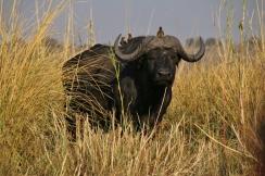 Wasserbüffel mit Begleitung. Vor denen (gemeint sind die Büffel :-)) muss man sich in Acht nehmen - man sieht ihnen nicht an, wenn sie böse werden (anders als Elefanten, die einem das sehr deutlich spüren lassen).